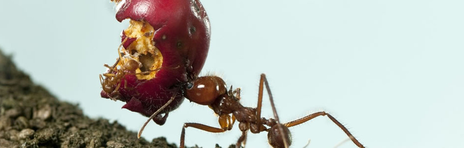 Ant getting away with an apple