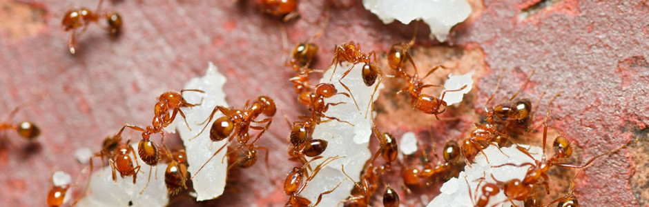 fire-ant-control